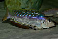 Enantiopus melanogenys Chisanse