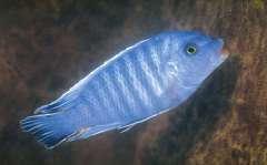 Petrotilapia tridentiger самец