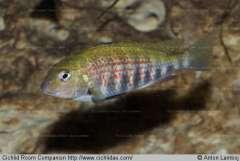Pseudosimochromis pleurospilus