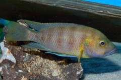 Trematochromis benthicola