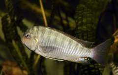 Pseudosimochromis curvifrons
