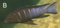 Chindongo bellicosus, самец