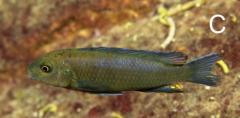 Chindongo bellicosus, самка