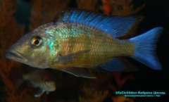 Fossorochromis rostratus 1