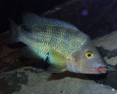 Cribroheros altifrons