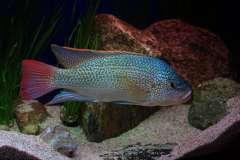 Oreochromis tanganicae