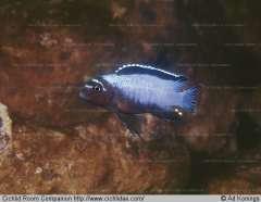 Metriaclima sp. Membe Deep
