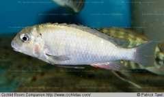 Pseudosimochromis margaretae