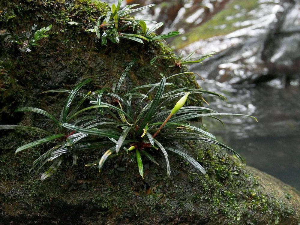 Bucephalandra_filiformis_AR-4915_64-fit-1000x750.jpg