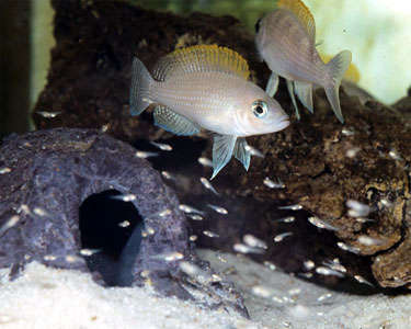 caudopunctatusCichlid2.jpg