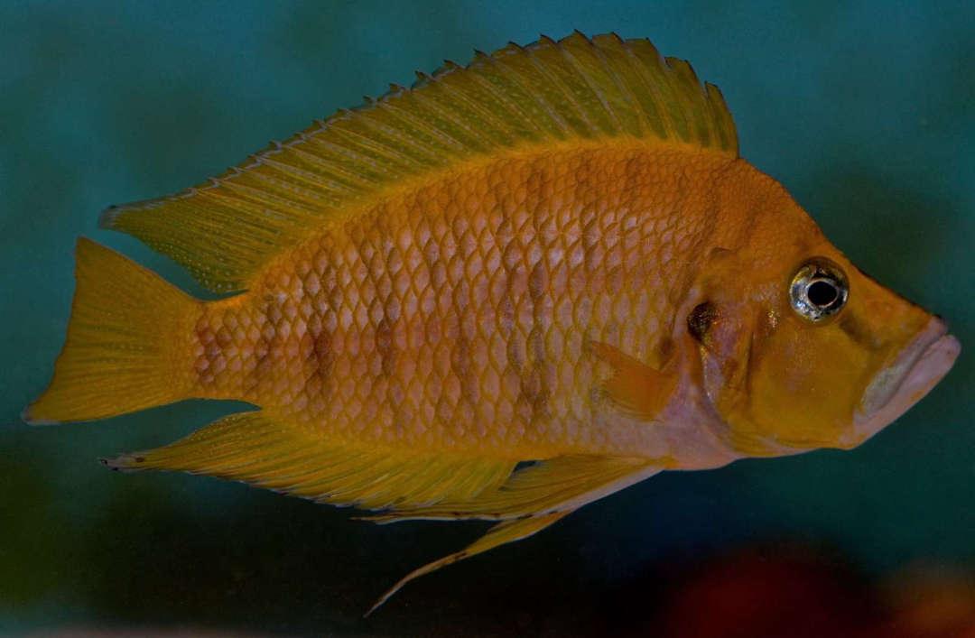 Altolamprologus compressiceps Chaitika