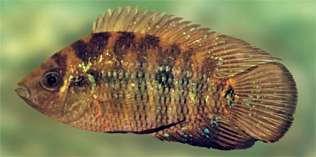 Картинки по запросу Australoheros macacuensis