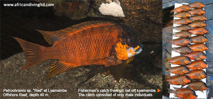 red_lyamembe_2_www.jpg