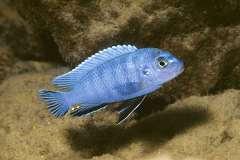 Chindongo heteropictus