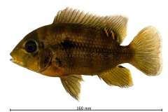 Heterochromis multidens