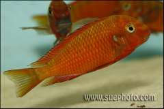Tropheus sp. red Ndole