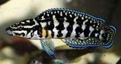julidochromis marlieri gombe