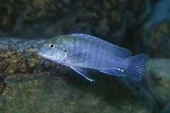 Iodotropheus stuartgranti