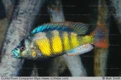 Astatotilapia sp. 'red tail'