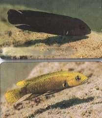"""Telmatochromis sp. """"dhonti yellow"""""""
