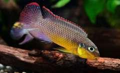 """Pelvicachromis kribensis """"Bandewouri"""""""