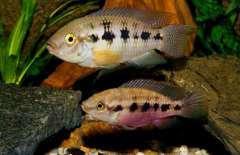 Thoracochromis callichromis
