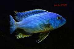 Buccochromis atritaeniatus --> B. nototaenia
