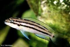 Chalinochromis popelini