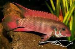 Wallaceochromis rubrolabiatus