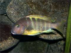 "Tropheus brichardi ""Katonga"