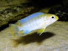 Pseudotropheus hajomaylandi