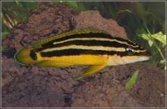 julidochromis ornatus zambia