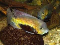 Cincelichthys pearsei