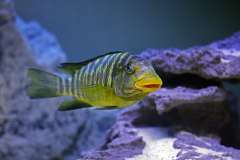 Petrochromis macrognathus 'Ikola'
