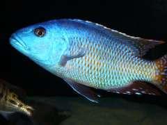 fuscotaeniatus.jpg