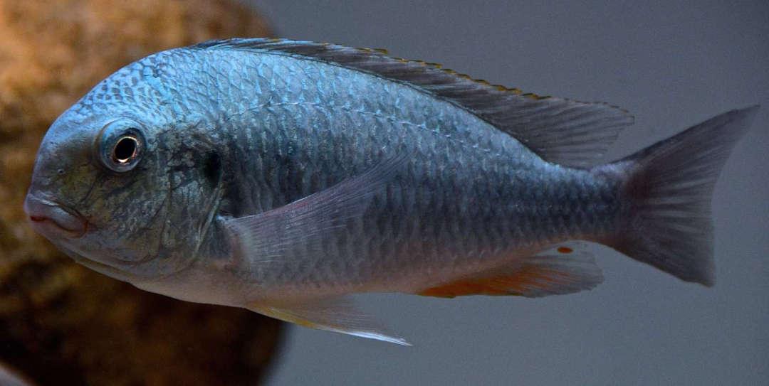 Картинки по запросу Simochromis marginatus