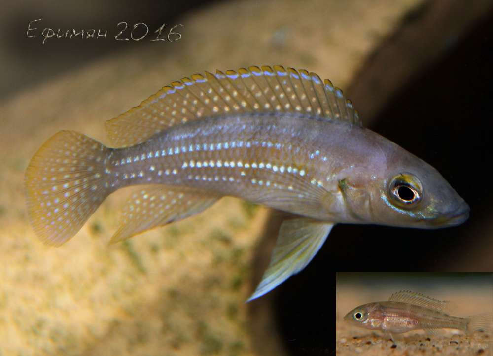 Neolamprologus tetracanthus.
