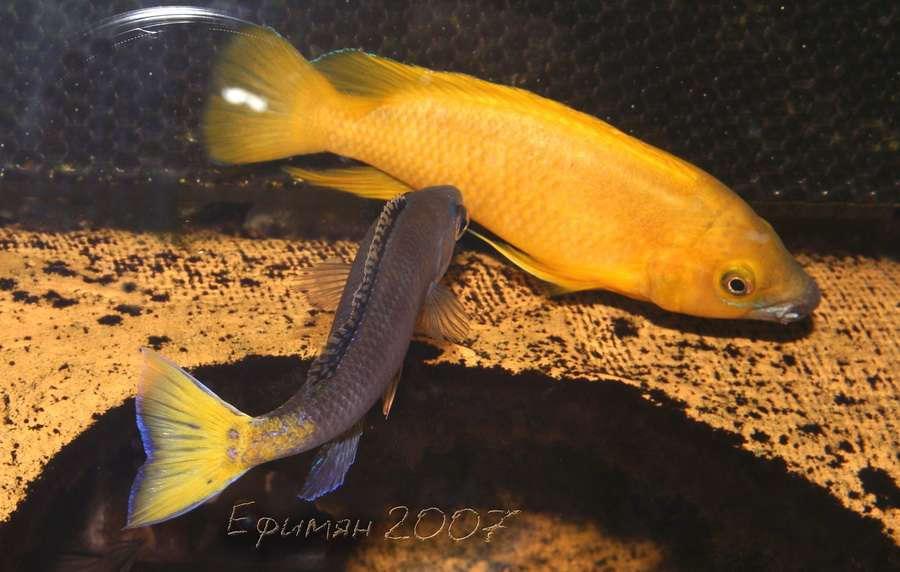 Cyprichromis leptosoma Mpulungu und Neolamprologus leleupi