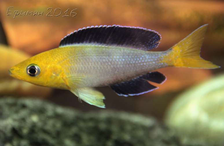 Cyprichromis leptosoma Jumbo Yellow Head