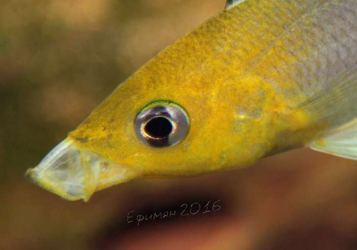 Cyprichromis leptosoma Jumbo Yellow Head