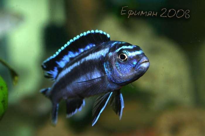 Melanochromis Maingano.Самочка