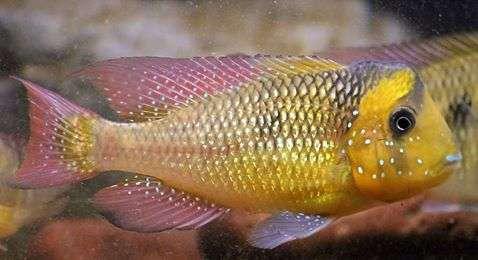 """Картинки по запросу Gymnogeophagus sp.cf.mekinos """"Aguas Blancas"""""""