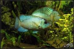 Наннакара неоновая Nannacara neon blue hybrid
