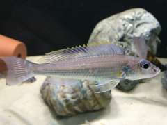 Reganochromis Calliurus Chituta