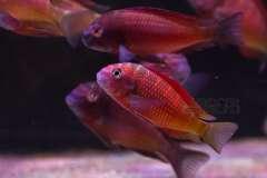 Tropheus sp Ndole Red Fluorescent