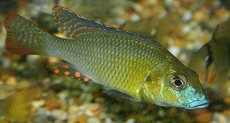 Thoracochromis_buysi.jpg