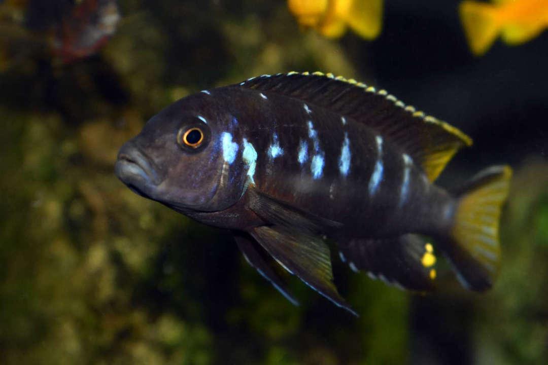 """Metriaclima sp. """"elongatus Chewere"""""""