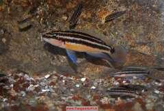 Julidochromis ornatus Bulombora