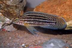 Julidochromis regani Bulombora