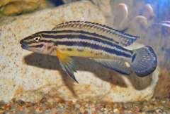 Julidochromis regani Burundi